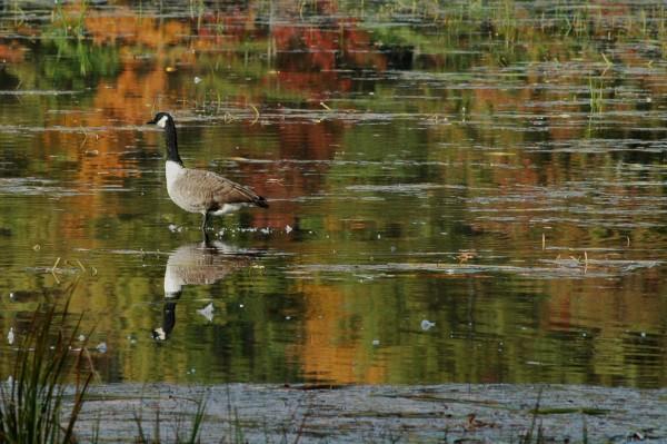 Goose on Pond v2